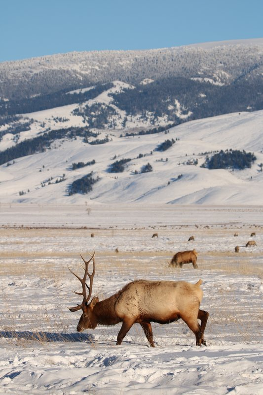 elk with mountains