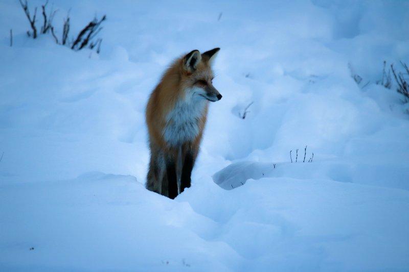 large_fox_trying..er__1_of_1_.jpg