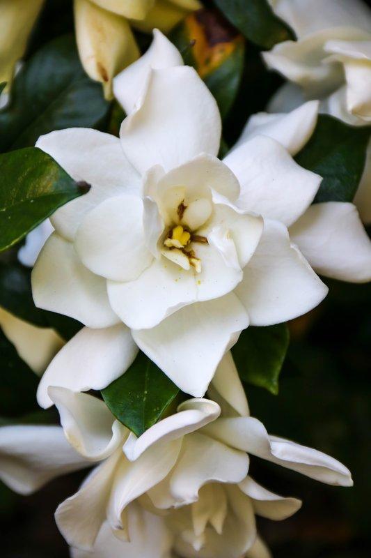 large_gardenia__1_of_1_.jpg