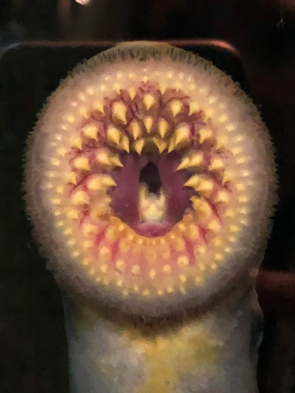 large_lamprey_mouth.jpg