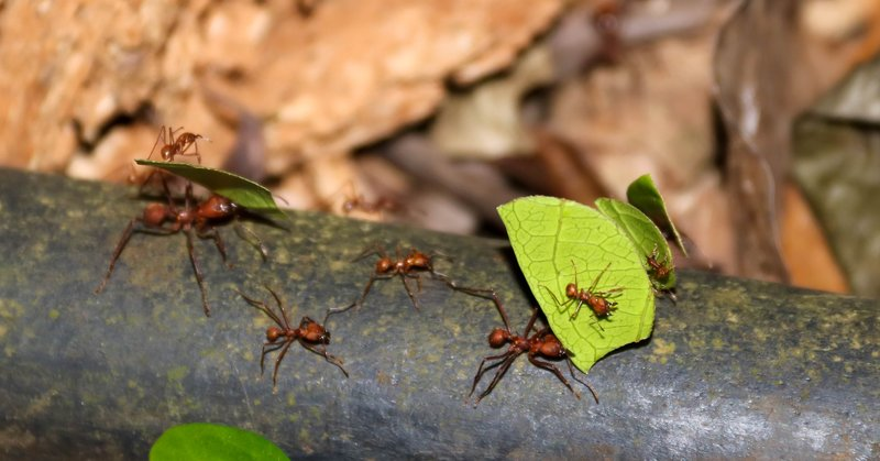 large_leaf_cutter_ants.jpg