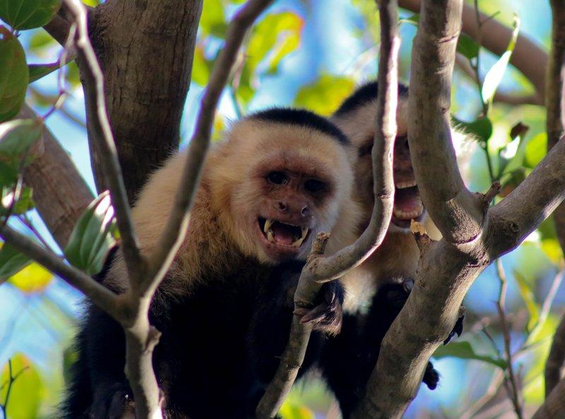 large_monkey_screams.jpg