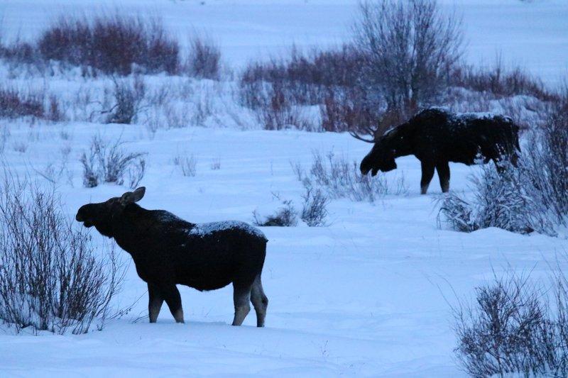 large_moose_grazing_together.jpg