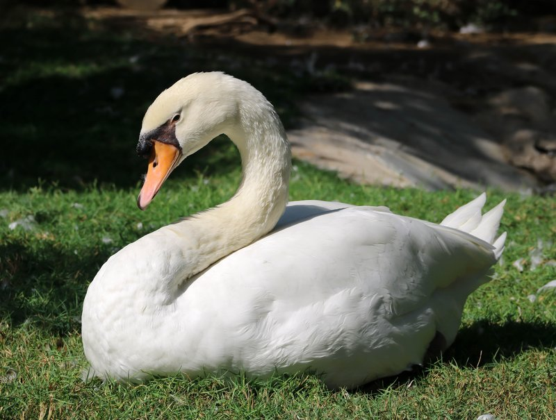 large_picture_perfect_swan.jpg
