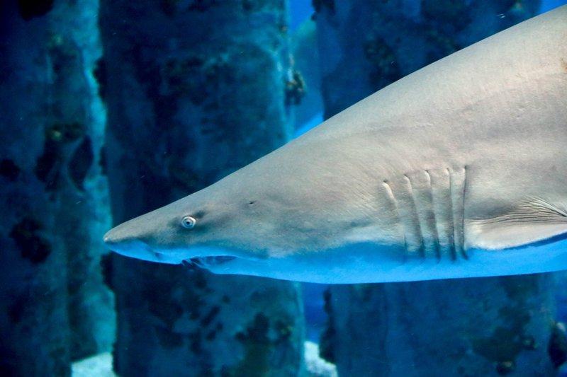 large_sand_tiger_shark__1_of_1_.jpg