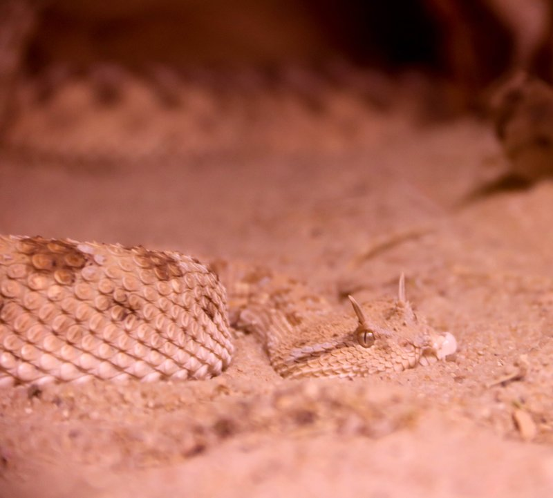 large_sand_viper.jpg