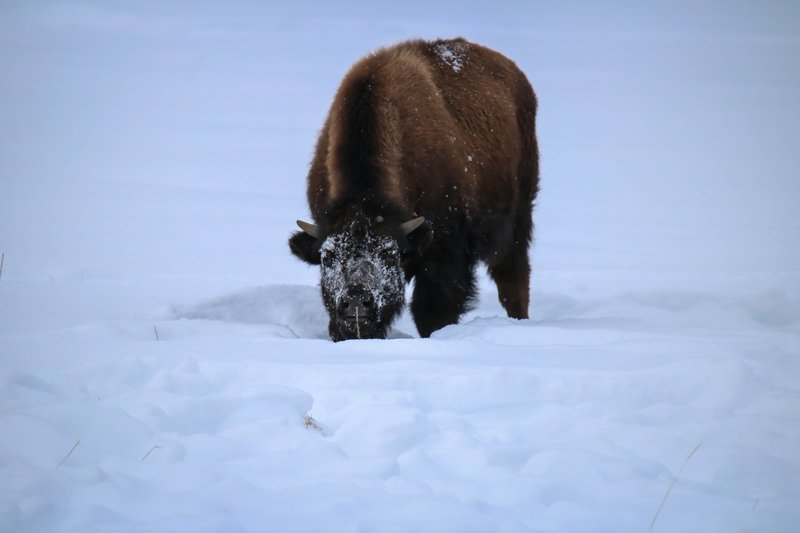 large_snowy_face_bison__1_of_1_.jpg
