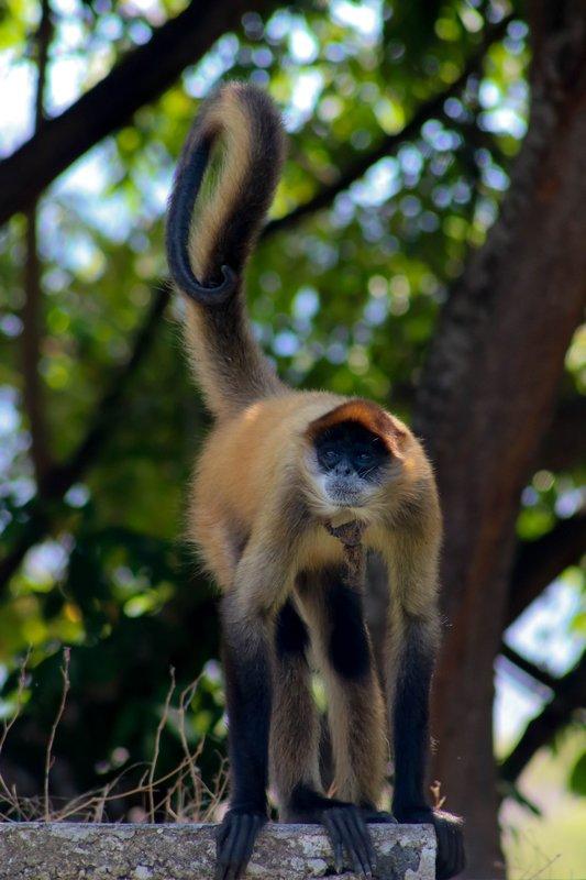 large_spider_monkey.jpg