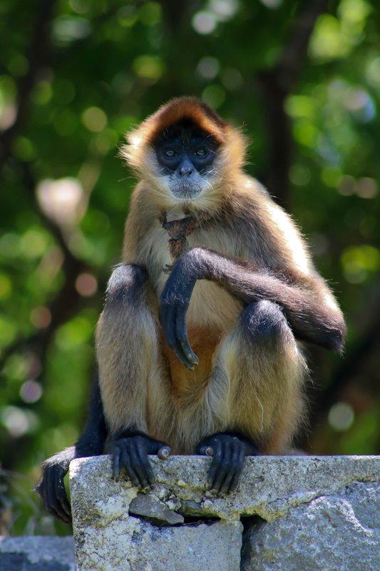 large_spider_monkey_pose.jpg
