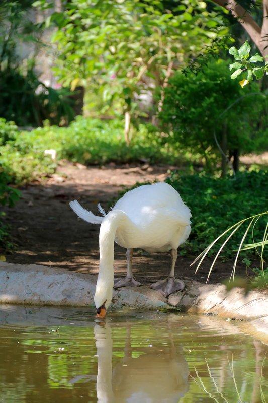 large_swan_drinking.jpg
