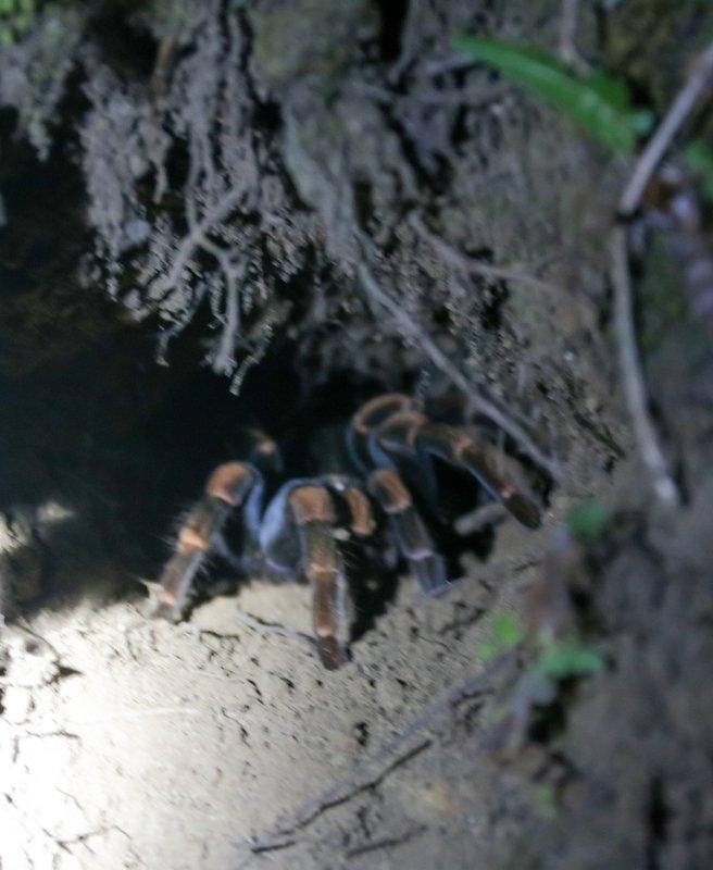 large_tarantula.jpg