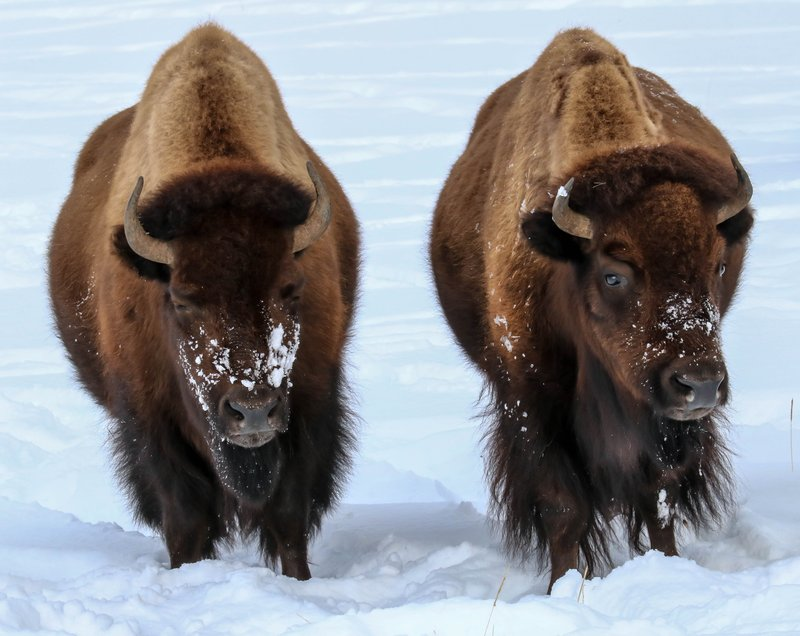 twin bison