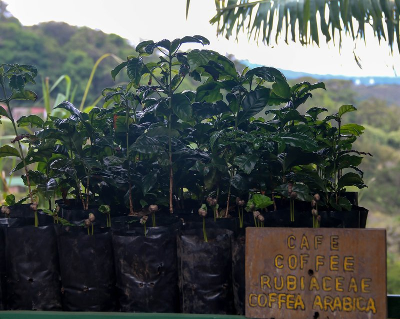 large_young_coffee_plant.jpg