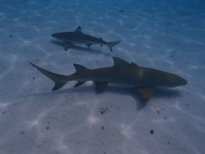lemon shark and black tipped reef shark
