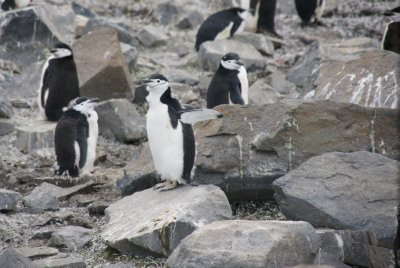 molting chinstrap penguins