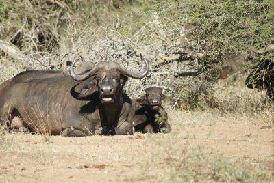 mom and baby buffalo
