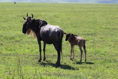 momma and baby wildebeest