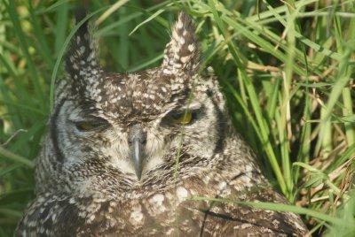momma owl