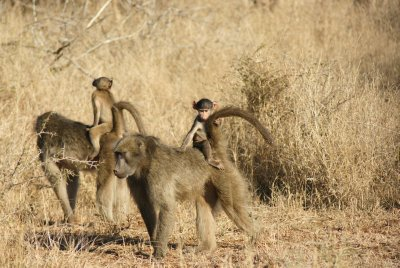 mommy baboons with babies