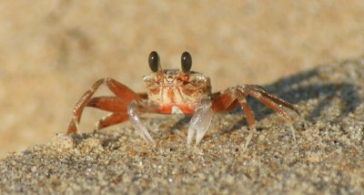 mozambique crab