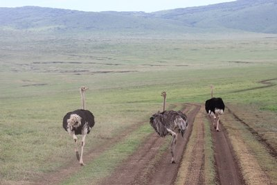 ostrich in the road