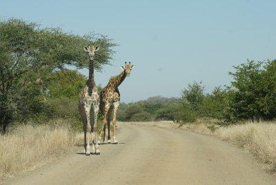 peeking giraffe