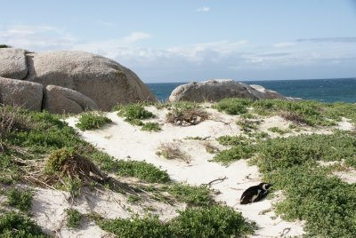 penguiin at boulder beach