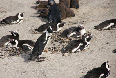 penguin hangout