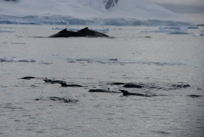 penguins and whales