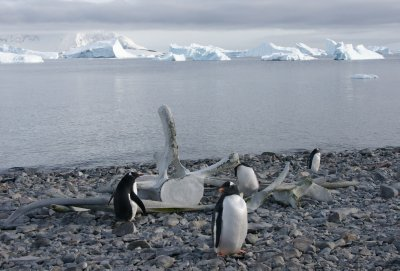 penguins with whale bones