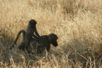 piggyback baboon
