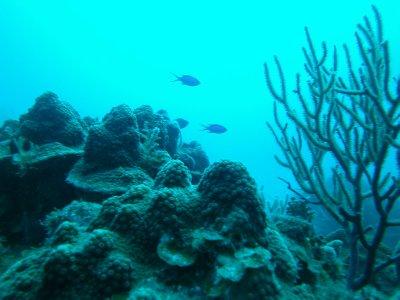 regrowing coral