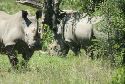 pair of rhino