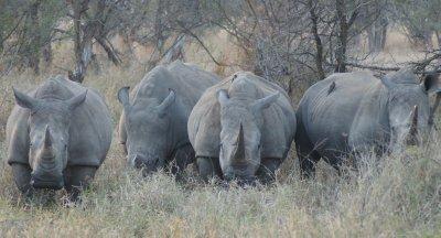 rhino line