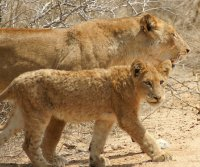 baby lion glare