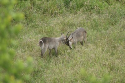 waterbuck boys
