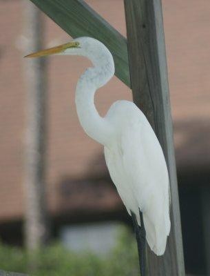 white egret 2