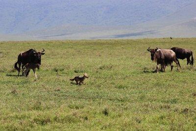 wildebeest chasing jackal