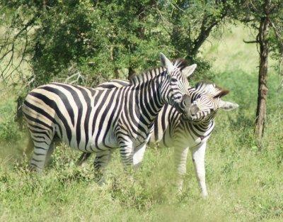 zebra_kiss.jpg