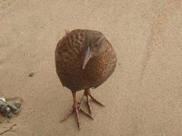 A very inquisitive Stewart Island Weka.