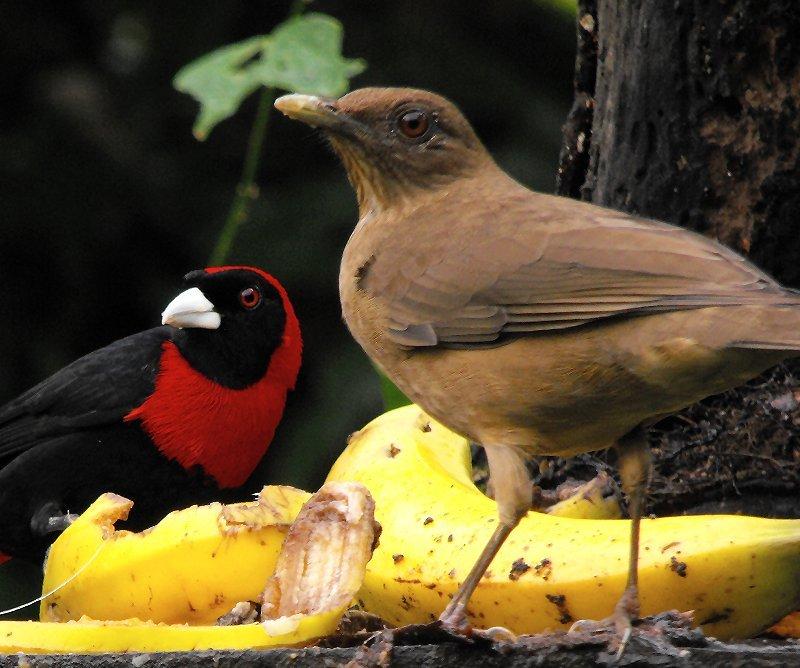 BIRDING tanager clay robin
