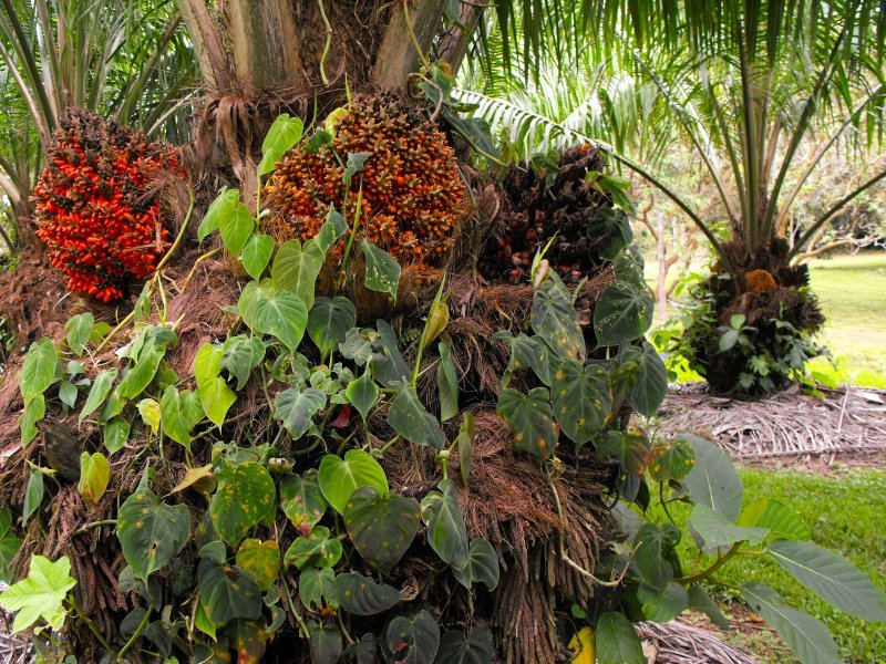 CATIE budding palm