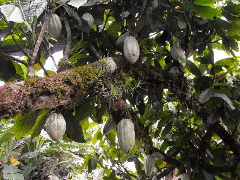 CATIE cacao fruit on tree