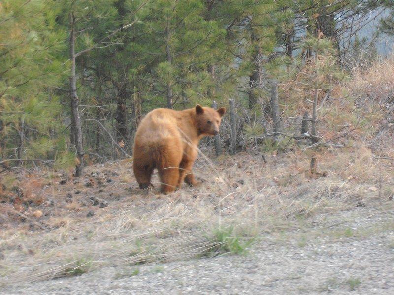 Young brown bear BC