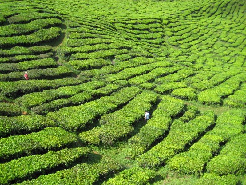Cameron Highlands_Breakfast Tea Plantation
