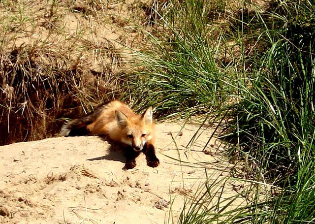 Playful Red Fox