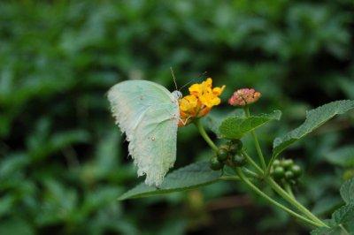Green_butterfly.jpg