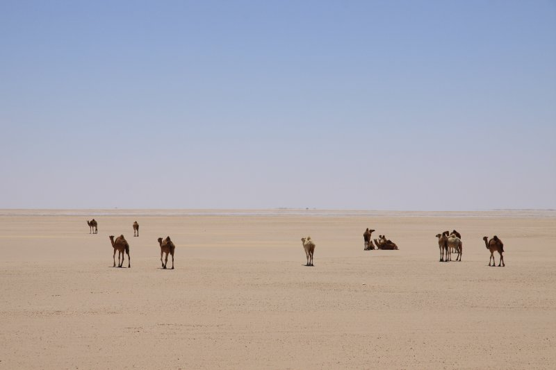 camels - mauratania