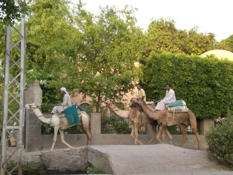 camels in nubian village