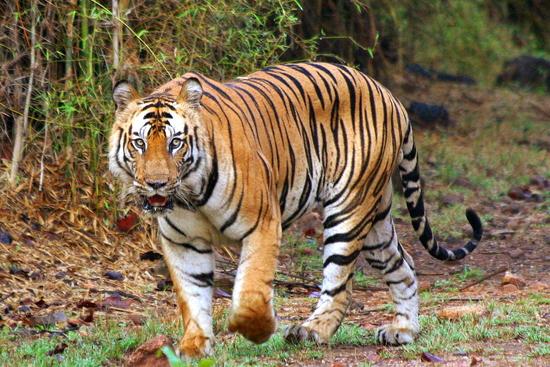 Tiger ... tiger burning bright